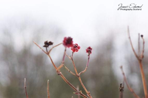 Nature Photography, Winter Berries, Snow, Ice, Winter Photography, Winter Wall Art, Wall Decor