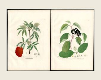 1880 2x Antique Print Red Elderberry & Dogwood Dietrich Forest Flora Hand Color Copper Plate Engraving Antique Botanical Prints 2 Prints