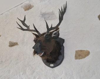 Reindeer (Rangifer tarandus mustache) mustache