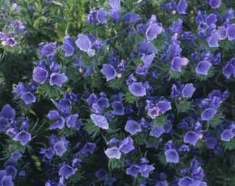 Echium Blue Bedder Flower Seeds/Plantagineum/Biennial  50+