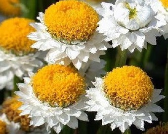 Ammobium Alatum Grandiflorum Flower Seeds/Perennial  100+