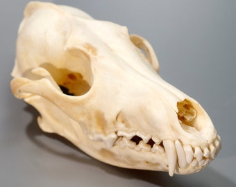 Coyote Skull | Animal Skull | Bone Skull