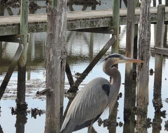 "Phograph of a Great Blue Heron, Cedar Key, Florida, 8"" x 10"", Giclee print"