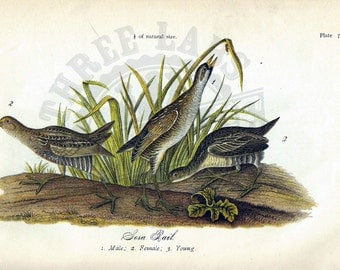 Original 1888 Chromolithograph Print of Sora Rail