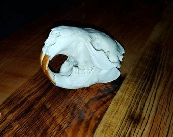 MT Beaver Skull