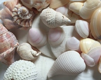 Sea shells for crafts or decorative dishes