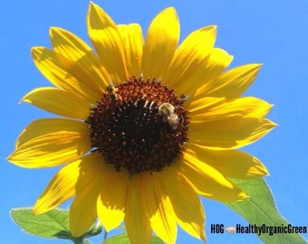 Homegrown Organic Sunflower Seeds -Free Shipping