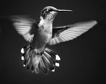 Black and White Wall Art, Hummingbird Black and White Print, Hummingbird Flying, Animal Photography, Fine Art Print, Bird Wall Art Print