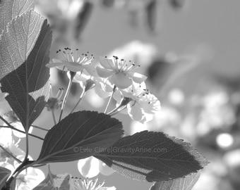 White Cherry Blossoms (Black & White)