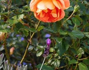 Orange Flower Photo, 5x7 Photo, 8x10 Photo, 11x14 Photo,Orange Rose and Lavender, California Garden Photo