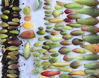 Succulent leaf cuttings-grow your own succulents-propagation-cacti-drought tolerant- succulent cuttings-succulent clippings-plants-gardening