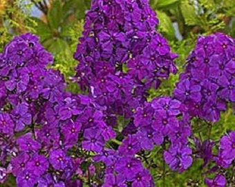 30+ Violet Phlox / Fragrant Shade-Loving Perennial Flower Seeds