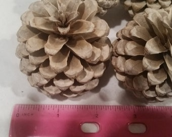 Bleached Pine Cones (set of 15)