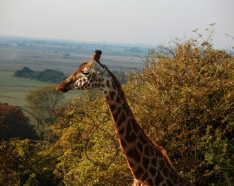 Digital Download Giraffe Photography Zoo Country Natural Landscape Wildlife