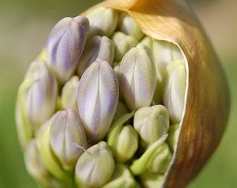 P14 - Blooming Agapanthus