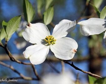 White Dogwood Blossom Print, Bloom, Spring, Tree, Flower