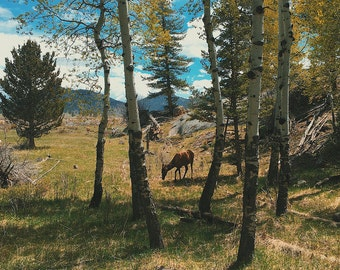 Elk Grazing - Rocky Mountain National Park Colorado - Nature Photograph