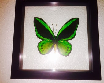 EXTRA LARGE Green Bird Wing Butterfly