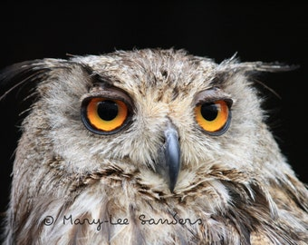 Owl, Photography, Grand Duc owl photo, photo to decorate any room
