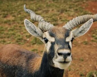 Spiral Horned Antelope Fine Art Print - Nature, Botanical, Wildlife, Garden, Nursery Decor, Home Decor, Baby, Zen, Gift