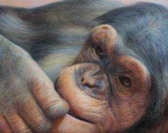 SAM DOLMAN Chimp Animal Limited Edition Print