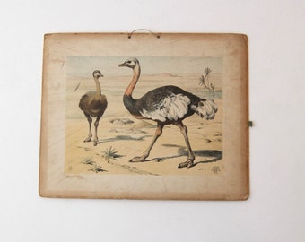 Original school charts of ostriches (rare) , zoology, school chart, Alfred Jacobsens 1995