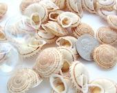 "Beach Nautical Obba Snail Seashells  - Beach Decor Tan Spiral Shells - 6PC, 1"" and up"
