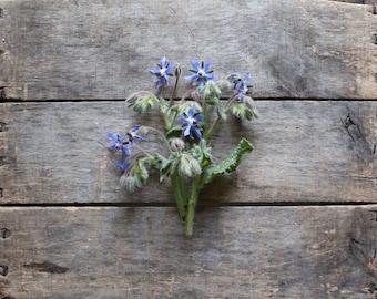 Borage, heirloom seeds, organic seeds, herb garden, organic herbs, natural pest control, gardener, edible flower, organic borage seeds