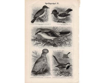 1894 ANTIQUE BIRD LITHOGRAPH - original antique print - ornithology animal german print of birds