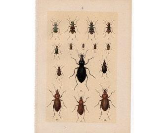 1890 ANTIQUE BEETLES LITHOGRAPH insects original antique bug print no 1