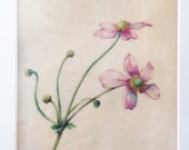 Original Botanical Watercolor on vellum of Japanese Anemone
