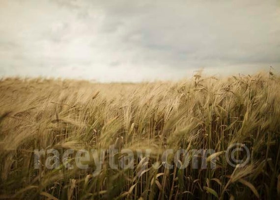 Photo of Wheat Field, Gold, Gray, Rustic, Fall, Nature Photography, Kitchen Decor, Country Home Decor, Farm