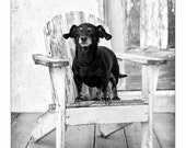 Miniature adorable sweet  Dachshund DOG standing on a shabby adirondack chair  Fine art pet photograph country  photo wall Decor