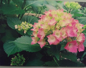 Photo pink & white hydrangea giclee on canvas