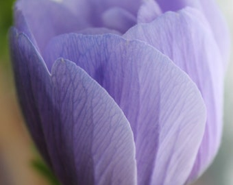 Pale Purple Poppy Petals Fine Art Photo