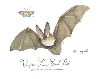Virginia Long-Eared Bat,  Watercolor Nature Illustration Print, Endangered Species