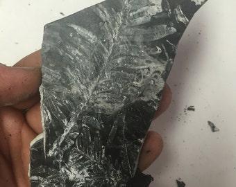 Ancient Fossil Fern on Shale Matrix PA