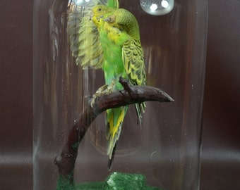 taxidermy of 2 head freak parrot made by 2 parrot,open wings posetion mounted in glass dome 4#