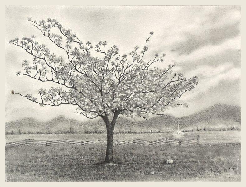 Albero di ciliegio disegno a matita for Albero ciliegio