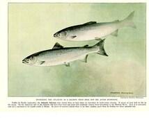 ATLANTIC SALMON 1939 Original Book Plate 71 The Book of Fishes National Geographic Hashime Murayama
