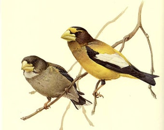 EVENING GROSBEAK  - Vintage J. F. Lansdowne Book Plate 50  'Birds of the Northern Forest'