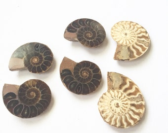Polished Ammonite Fossil Halves - perfect for jewelry making