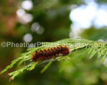 Wooly Caterpillar Wildlife Photography Fine Art Nature Print, Insect Bug Photo, Pacific Northwest Home Decor, Wall Art