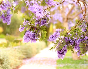 Jacaranda Trees in Bloom - Jacarandas Photo Print - Flower Photography - Size 8x10, 5x7, or 4x6