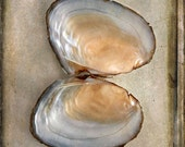 Bivalve, Still Life Photography, Fine Art Photography, Beach Photography, Nature Photography, Seashell Photography