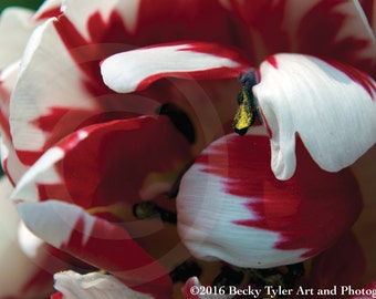 Red and White Tulip Macro Fine Art Photo Print