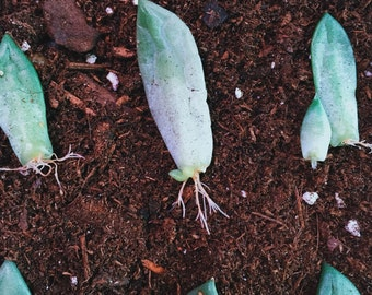 5 Succulent Leaf Cuttings for Propagation