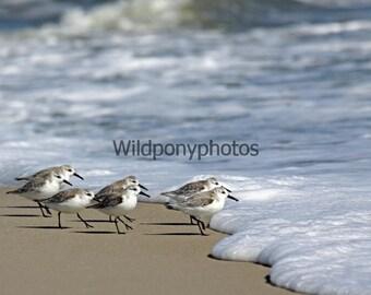 Nature Photograph-Sanderlings in Assateague Island National Seashore