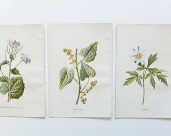 Botanical Prints, Set of 3, Vintage Flower Print, Antique Bookplate, Floral Art, Anemone, Garlic-Mustard, Black Bryony
