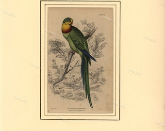 19th century first edition Jardine Original Antique  Hand Colored Natural History Matted print of Parrot- Barraband Ring Parrakeet